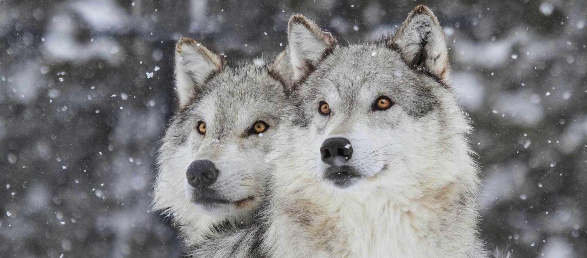 Wolves Image on the Slider
